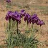 Iris_mariae20