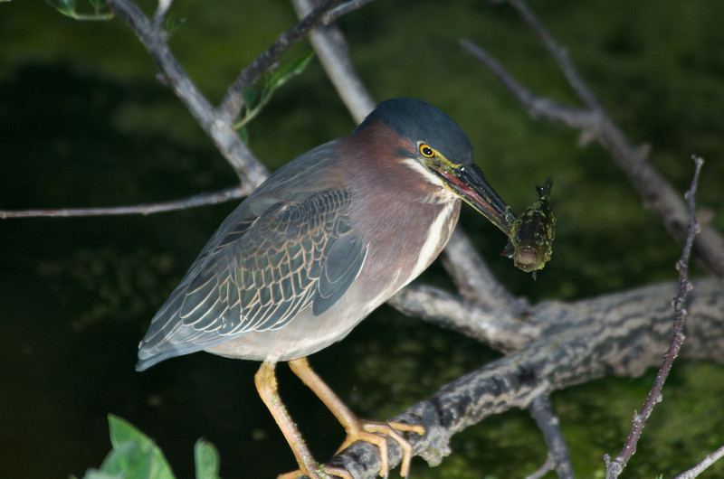 Green Heron eating fish