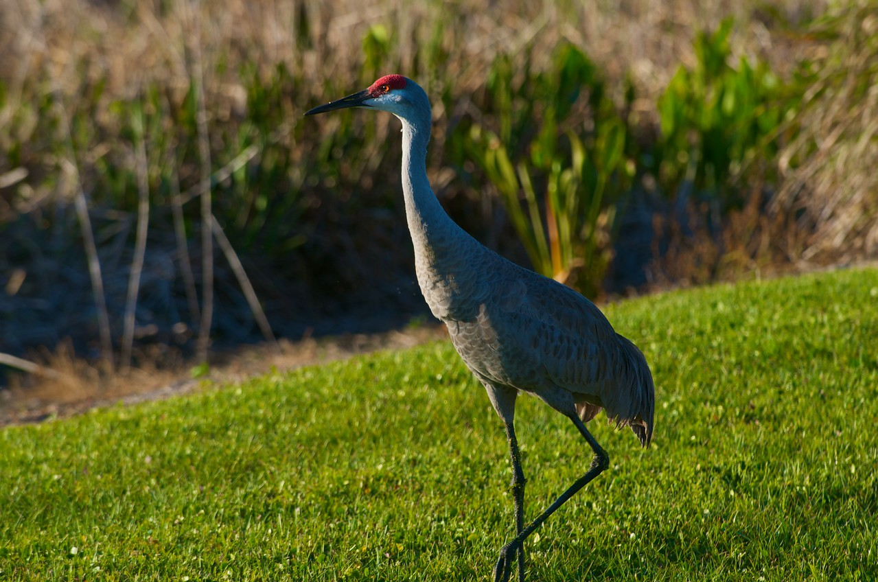 Sandhill Crane Green Cay