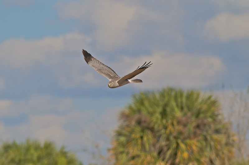 Northern Harrier,et al