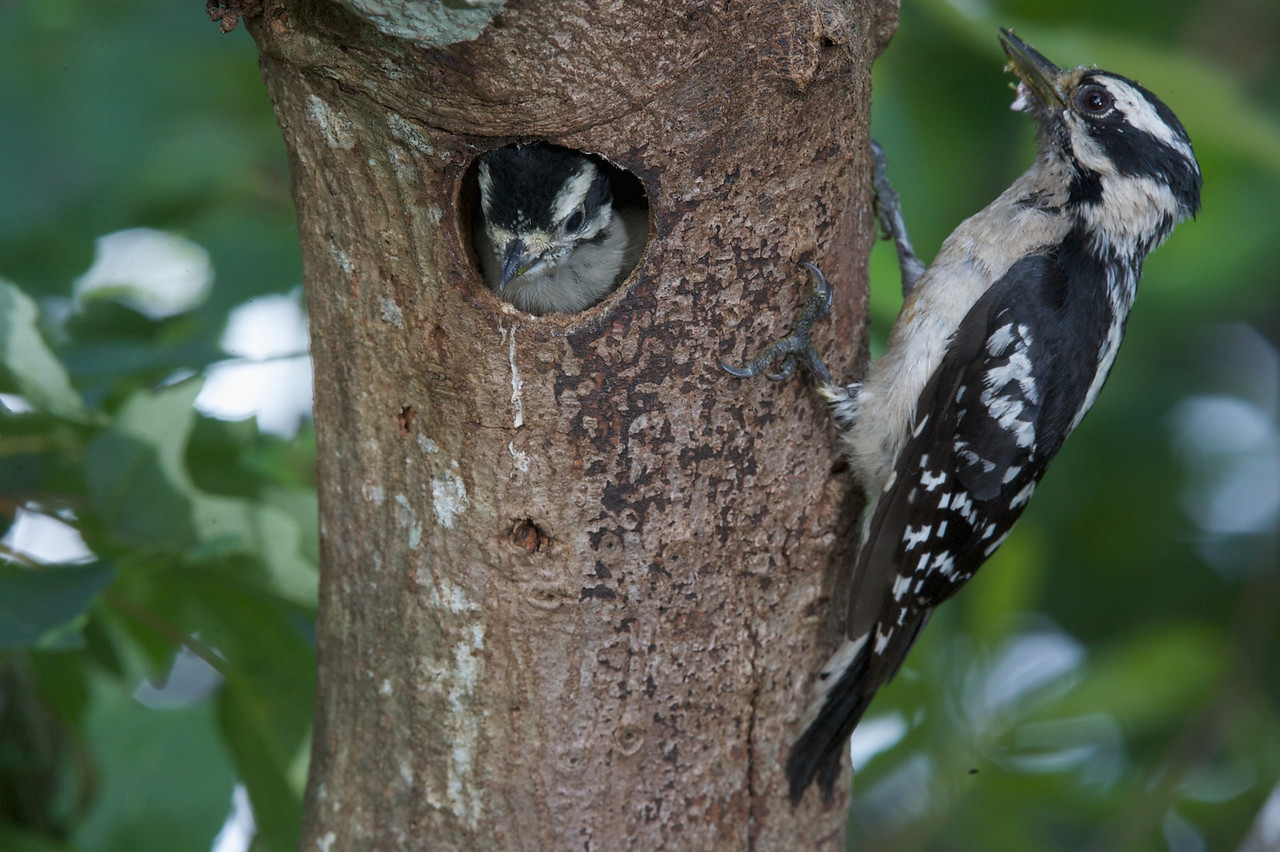 Downey Woodpeckers & Babies
