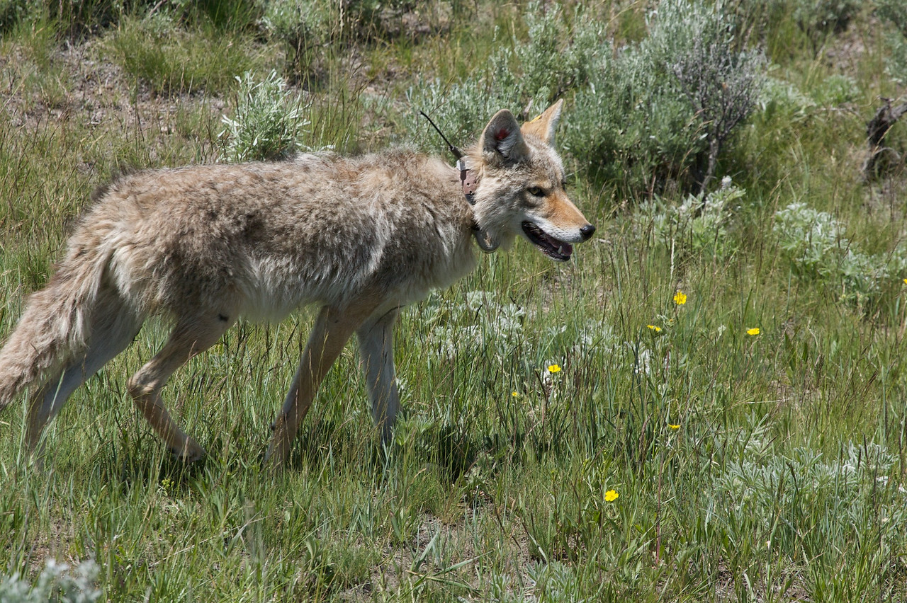 Yellowstone_Coyote