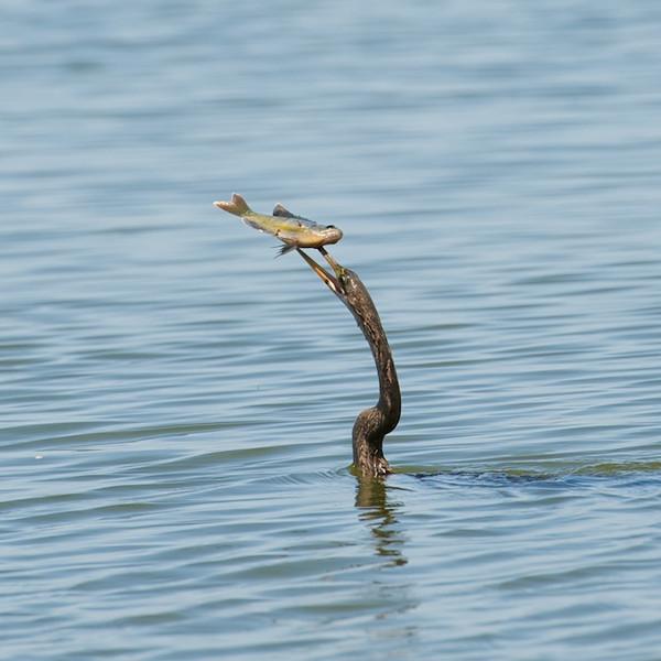 Crested Cara Cara, Osprey, et al
