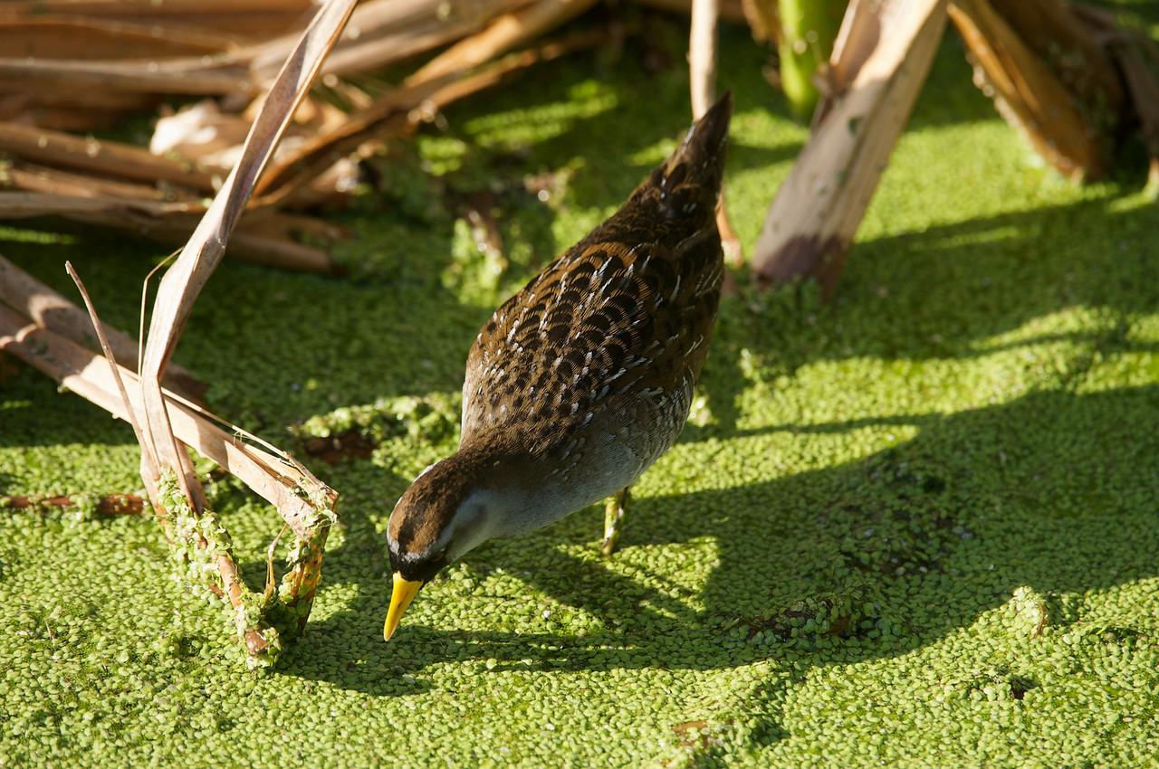 Snips, dragonflys, green Heron,et al