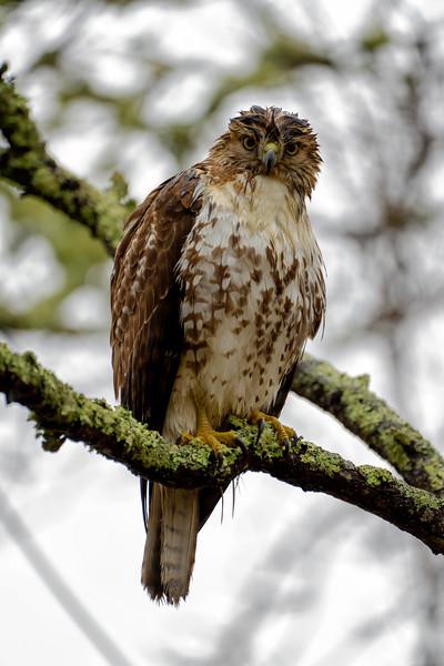 Rainy Dawn Hawk