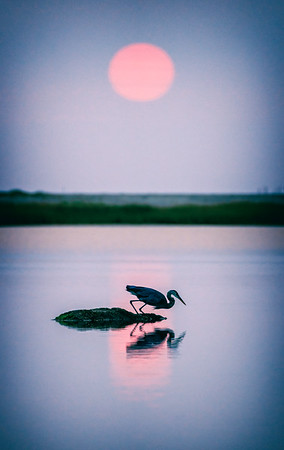 blue heron and the rising sun