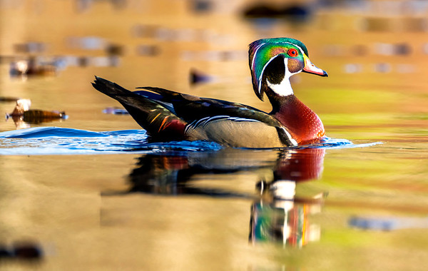 Wood Ducks of New England