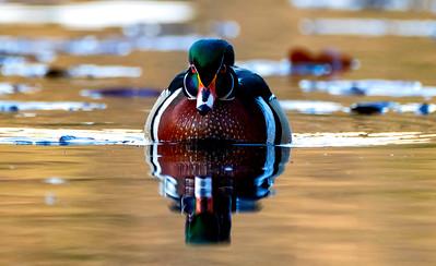 Wood Ducks of New England