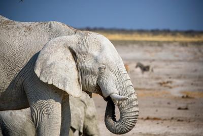 African Elephant , Etosha National Park