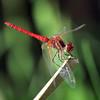Montusi Dragonfly