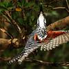 Giant Kingfisher, St. Lucia Lake