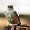 Lesser Striped Swallow, Montusi Mountain Lodge