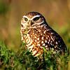 Burrowing Owl, Punta Gorda, FL