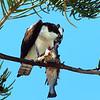 Osprey with dinnere, Punta Gorda, FL
