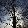 Wave Hill Tree