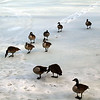 Canada Geese on frozen VCP Lake, Feb 7, 2011