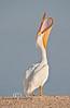 Head Throw - White pelicans in Cedar Key - January