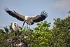 Wood Stork Returning to the Nest - April