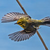 Prairie Warbler at Prospect Park