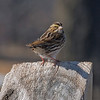 White-throated Sparrow, Read Sanctuary, Rye