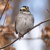 White-throated Sparrow at Van Cortlandt Park