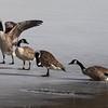 Canada Geese on ice at Van Cortlandt Park Lake