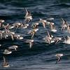 Flight of Sanderlings at Stone Harbor