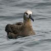 Black-footed Albatross, Monterey Seabirds Pelagic Trip
