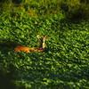 Millington deer. Millington, TN