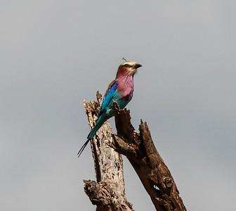 Lilac-breasted Roller  Mkomazi NP Tanzania 2014 06 30.JPG
