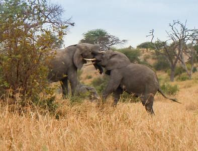 Elephant  Tarangire NP Tanzania  2014 07 03.JPG-12.JPG