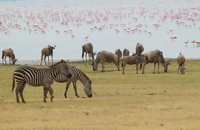 Zebra Wildebeest Lesser Flamingos  Manyara National Park Tanzania 2014 07  05.JPG