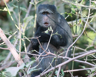 Baboon  Manyara NP Tanzania 2014 07 05 -5.JPG