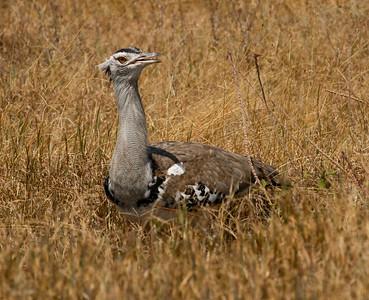 Kori Bustard Ngorongoro Tanzania  2014 07 06-4.JPG.JPG (1 of 3).JPG