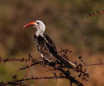 Red-billed Hornbill  Mkomazi NP Tanzania 2014 06 30.JPG