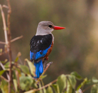 Grey-headed KingfisherTarangire NP Tanzania  2014 07 03.JPG.JPG