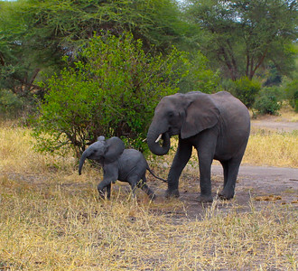 Elephant  Tarangire NP Tanzania  2014 07 03.JPG-16.JPG