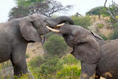 Elephant  Tarangire NP Tanzania  2014 07 03.JPG-11.JPG