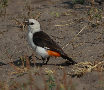 White-headed Buffalo-Weaver  Tarangire NP Tanzania  2014 07 03.JPG.JPG