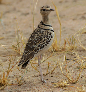 Two-banded Courser  Tanzania  2014 07 04.JPG.JPG