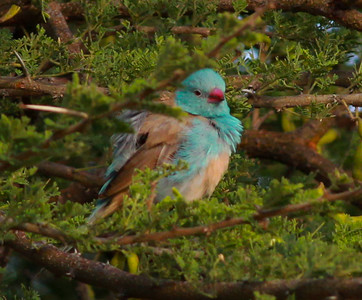 Blue-capped Cordon Bleu  NP Tanzania 2014 07 03 (1 of 2).JPG