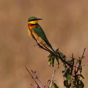 Little Bee-eater  Tarangire NP Tanzania  2014 07 03.JPG-2.JPG