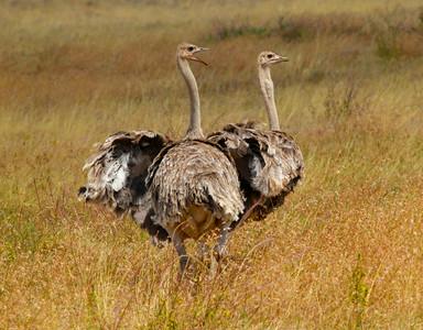 Ostrich Ngorongoro Tanzania  2014 07 06.JPG