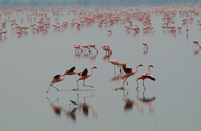 Flamingo  Manyara NP Tanzania 2014 07 05_.JPG