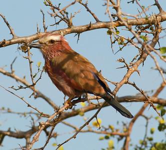 Rufous-crowned Roller Mkomazi NP Tanzania 2014 07 01 (2 of 2).JPG