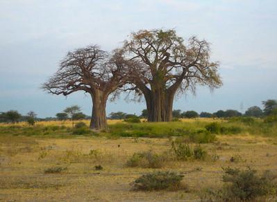 Bao Bao Tree  Tanzania  2014 07 03.JPG.JPG