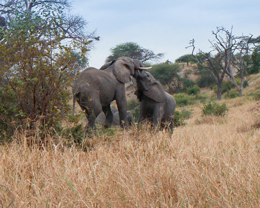 Elephant  Tarangire NP Tanzania  2014 07 03.JPG-13.JPG