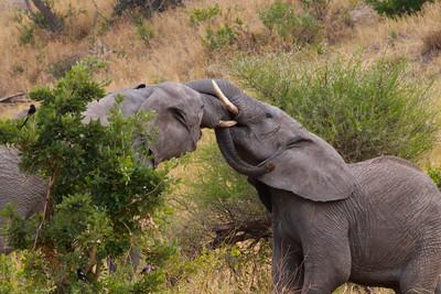 Elephant  Tarangire NP Tanzania  2014 07 03.JPG.JPG