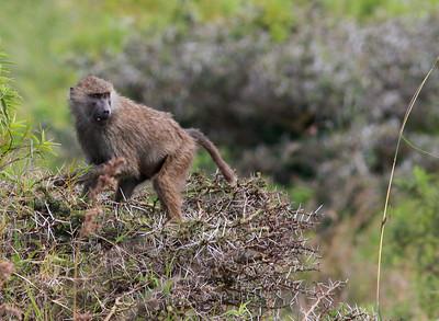 Baboon Arusha NP Tanzania  2014 07 03.JPG.JPG