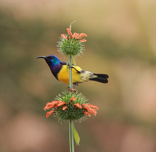 Variable Sunbird  Tanzania  2014 07 05 -3.JPG